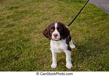 Curious Puppy at the Park - Young English Springer Spaniel...