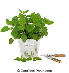 Lemon Balm Herb with Secateurs - Lemon balm herb plant in an...