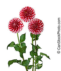 Red White Dahlia - Red white dahlia flower plant isolated