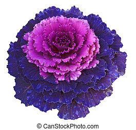 Decorative Cabbage - Purple pink decorative cabbage isolated...