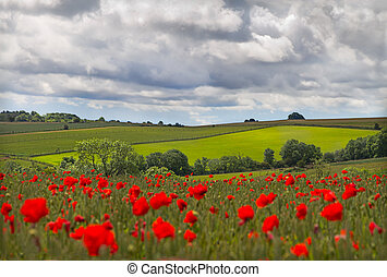 Hills in with field of poppies near Leafield, Cotswolds, UK