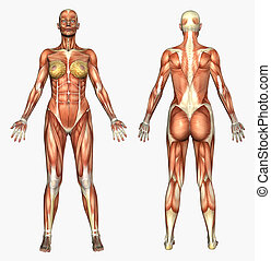 Female Muscles - 3D render depicting human anatomy - muscles...