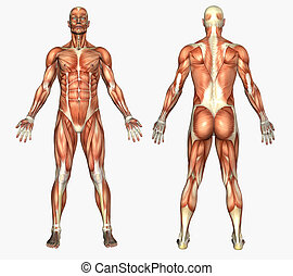 Male Muscles - 3D render depicting human anatomy - muscles -...