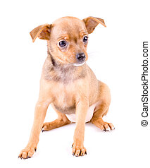 ?ute puppy - Cute russian toy terrier puppy - 8 weeks old...