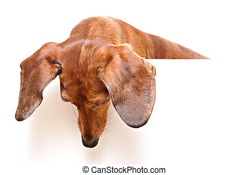 dachshund dog looking down