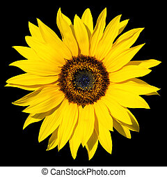 sunflower isolated - yellow sunflower isolated over black...