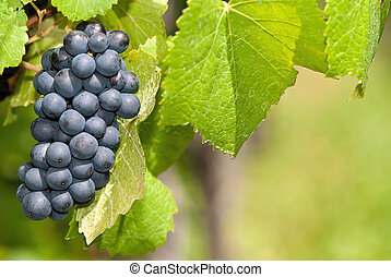 bunch of grapes on a field