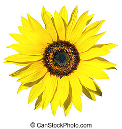 sunflower isolated - yellow sunflower isolated over white...