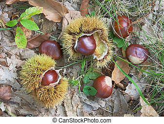 chestnuts - sweet chestnuts and cupule - marron, autumnal...