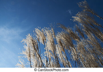 Reeds shining in the sun