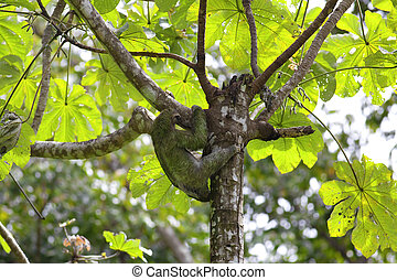 A Three-toed Sloth climbing down the tree in Manuel Antonio...