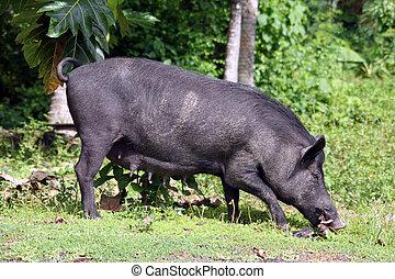 Black pig and trees on Savaii island, Samoa