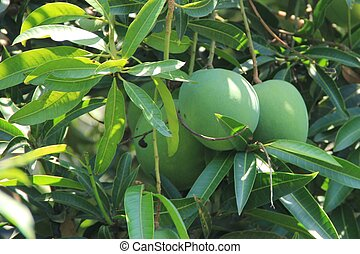 Mango tree - Green mango fruits on tree