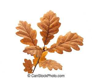 Oak Leaves - Oak leaves in autumn on white