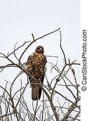 Galapagos Hawk on Santa Fe - Galapagos Hawk on a rainy day,...