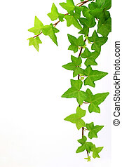 ivy - I took ivy in a white background.