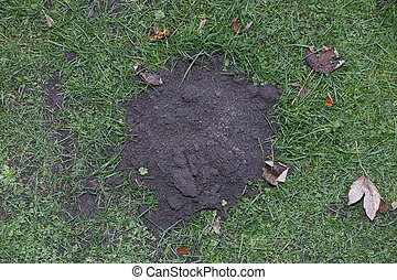 molehill - image of molehill in field, autumn. Worksop,...