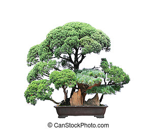 Tree bonsai lonely isolated on white background