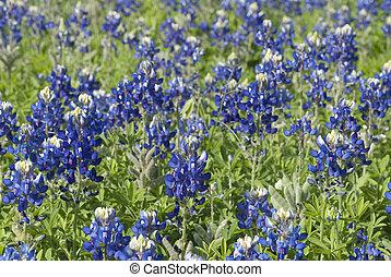 bluebonnet - This is a field of bluebonnet in Austin Texas.