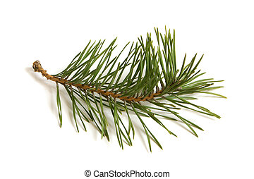 Pine branch on white background