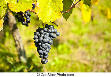 Bunch ov grapes - Bunch of ripe grapes in the vineyard just...
