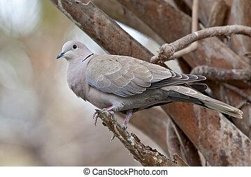 Eurasian Collard Dove (Streptopelia decaocto) - Eurasian...
