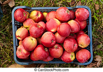 Red apples in a crate - Red yellow apples just picked from...