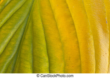 Hosta leaf - Detailed macro photo of a colorful hosta leaf...