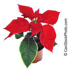 poinsettia - red poinsettia on a white background