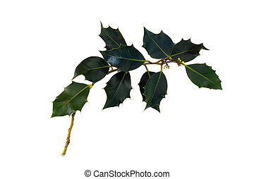 A branch of European holly - A single isolate branch of...