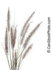 dry grass spikelet, as design element
