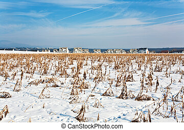 acre covered with snow and corn from last harvest -...