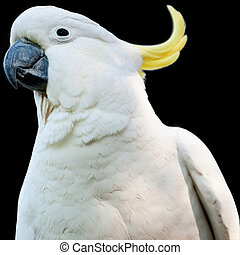 cockatoo, isolado