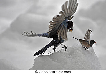 Two birds in snow - Two birds fighting in snow