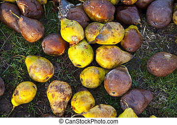 windfall fruits on the meadow at a fruit farm