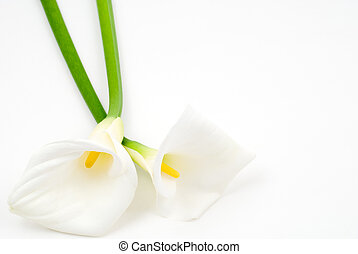Calla lily - Two calla lilies on a white background