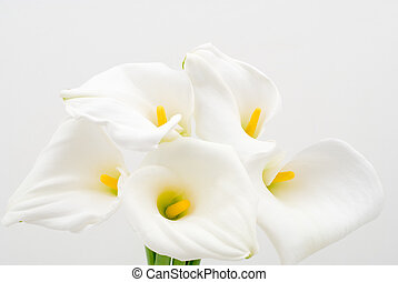 Calla lily - Five calla lilies on a white background
