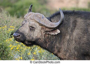 Cape Buffalo - Portrait of a Cape Buffalo bull with grass in...