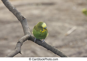 Yellow and Green Parakeet on Perch