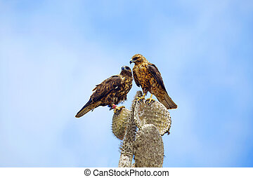 Galapagos Hawks on Santa Fe - Two Galapagos Hawks on a...