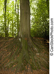 network of roots from large old tree - network of roots from...