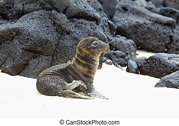 Young Sea Lion sitting in the sand, Santa Fe, Galapagos