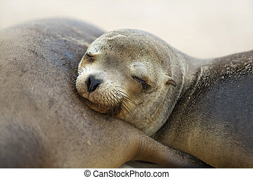 Young Sea Lion sleeping on his mummy, Santa Fe, Galapagos