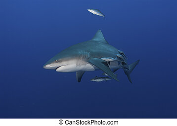 Frantic bull shark - The view of a bull shark and suckerfish...