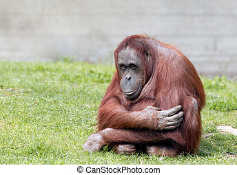 Bornean orangutan looking at camera