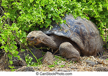 A Galapagos tortoise eating leaves, Santa Cruz, Galapagos