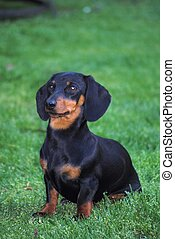 Miniature Dachshund Sitting