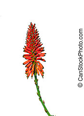 beautiful Aloe Vera flower with white background