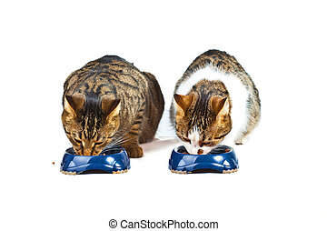 two cats have their meal - two hungry cats have their meal