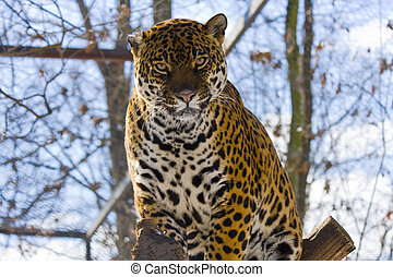 Jaguar (Panthera onca) - Spotted jaguar female